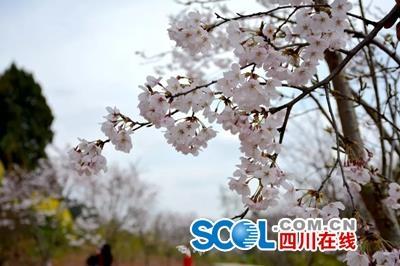 广元3月10日至4月8日举行樱花节 柏林沟等着你